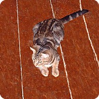 Adopt A Pet :: Curious George - Hampton, CT
