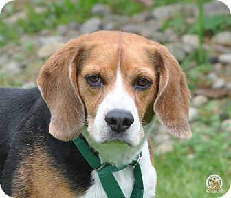 Beagle Mix Dog for adoption in Eighty Four, Pennsylvania - Junior