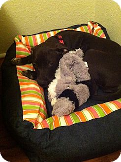Pit Bull Terrier Mix Puppy for adoption in College Station, Texas - Cinder