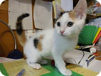 Calico Kitten for adoption in Colmar, Pennsylvania - Carly