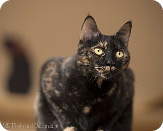 Domestic Shorthair Cat for adoption in Fountain Hills, Arizona - Chestnut