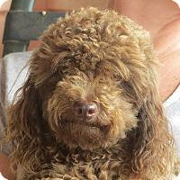 Adopt A Pet :: Harry - Salem, NH