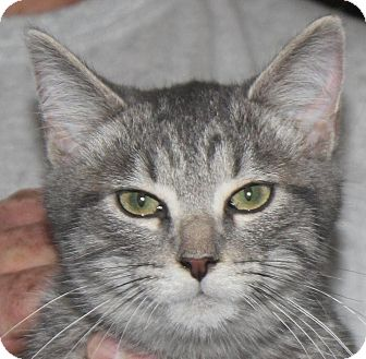 Domestic Shorthair Kitten for adoption in Colonial Heights, Virginia - Sneezy