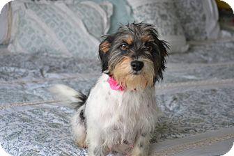 Shih Tzu/Schnauzer (Miniature) Mix Dog for adoption in Allentown, Pennsylvania - Doria