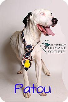 Catahoula Leopard Dog Mix Dog for adoption in Covington, Louisiana - Patou