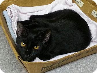 Domestic Shorthair Kitten for adoption in Statesville, North Carolina - Shelby
