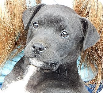 Border Collie/Wirehaired Fox Terrier Mix Puppy for adoption in Williamsport, Maryland - Petty (12 lb)