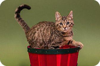 Domestic Shorthair Kitten for adoption in Tallahassee, Florida - Lola
