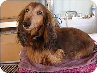 Dachshund Dog for adoption in Forest Ranch, California - Joy