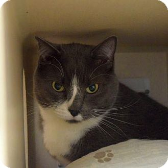 Domestic Shorthair Cat for adoption in Denver, Colorado - Lowell