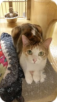Domestic Shorthair Cat for adoption in East Hartford, Connecticut - Bethany (in CT)