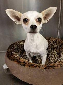 Chihuahua Dog for adoption in Scottsdale, Arizona - Taffy