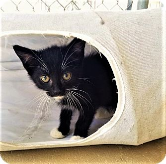 Domestic Shorthair Kitten for adoption in Umatilla, Florida - Alfie