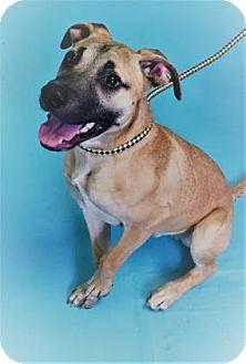 Shepherd (Unknown Type)/Labrador Retriever Mix Puppy for adoption in Monroe, Michigan - Captain