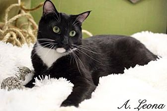 Domestic Shorthair Cat for adoption in Plymouth, Minnesota - Han Solo