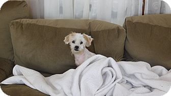 Shih Tzu/Maltese Mix Dog for adoption in West Deptford, New Jersey - Miley