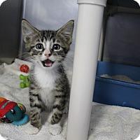 Domestic Shorthair Kitten for adoption in Cape Girardeau, Missouri - Sarge