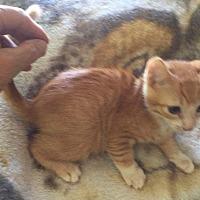 Adopt A Pet :: Linus - Lodi, CA