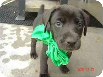Weimaraner/Labrador Retriever Mix Puppy for adoption in Katy, Texas - Marta & Misty