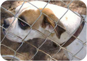 Boxer Dog for adoption in Inman, South Carolina - Clyde
