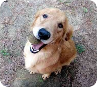 Golden Retriever Mix Dog for adoption in Albany, Georgia - Teddy
