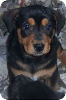 Labrador Retriever/Black and Tan Coonhound Mix Puppy for adoption in Richmond, Virginia - Tania