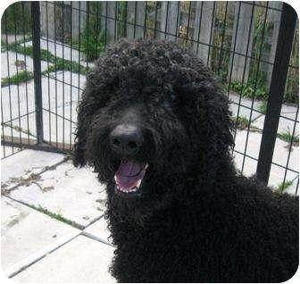 Golden Retriever/Poodle (Standard) Mix Dog for adoption in Ile-Perrot, Quebec - DIAMOND