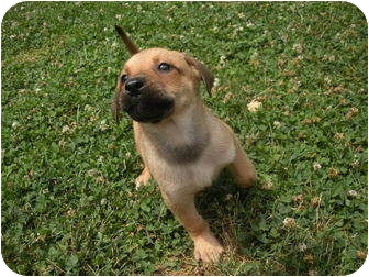Labrador Retriever/German Shepherd Dog Mix Puppy for adoption in Bel Air, Maryland - Rover