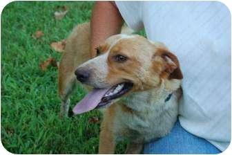 Labrador Retriever/Spaniel (Unknown Type) Mix Dog for adoption in McArthur, Ohio - BUDDY