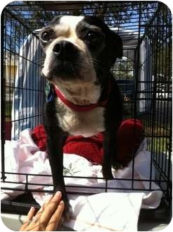 Boston Terrier Dog for adoption in Ocean Ridge, Florida - Bonnie
