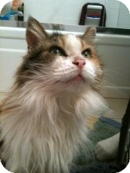 Calico Cat for adoption in Simi Valley, California - Candy