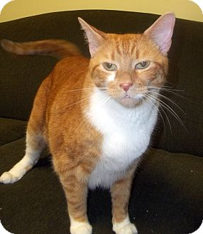 Domestic Shorthair Cat for adoption in Duluth, Minnesota - Obie (Declawed)