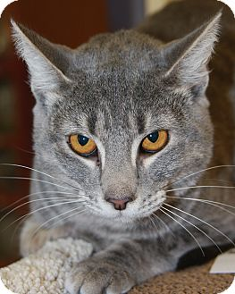 Domestic Shorthair Cat for adoption in Phoenix, Arizona - Zelda