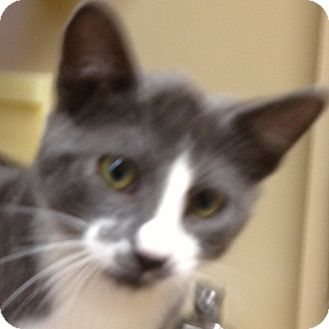 Domestic Shorthair Cat for adoption in Weatherford, Texas - Smokey