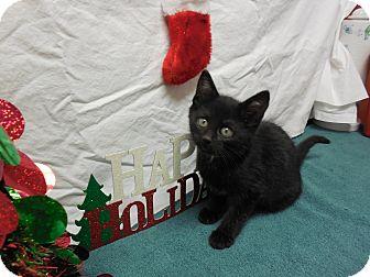 Domestic Shorthair Kitten for adoption in Buena Vista, Colorado - Cappuccino