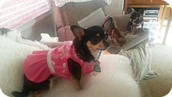 Chihuahua Mix Dog for adoption in Seattle, Washington - Bella