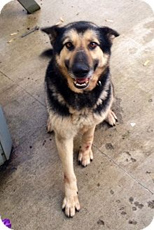 German Shepherd Dog Dog for adoption in Leetonia, Ohio - Stanley