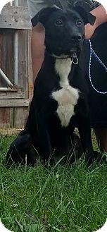 Labrador Retriever Mix Dog for adoption in Delaware, Ohio - Bella