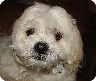 Lhasa Apso Mix Dog for adoption in Hurricane, Utah - LOUIE