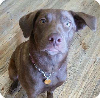Labrador Retriever Mix Puppy for adoption in Colorado Springs, Colorado - Alayna