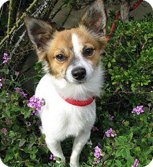 Chihuahua/Cavalier King Charles Spaniel Mix Dog for adoption in Long Beach, California - Cheeto Bandeetoe