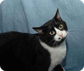 Domestic Shorthair Cat for adoption in Fort Walton Beach, Florida - Monroe