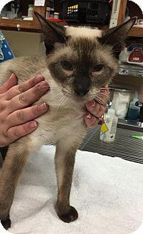 Siamese Cat for adoption in Sacramento, California - Felix