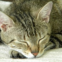 Domestic Shorthair Cat for adoption in Tampa, Florida - CleoCatra