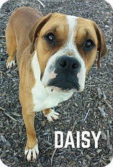 Boxer Mix Dog for adoption in Lapeer, Michigan - DAISY--SWEET BOXER MIX