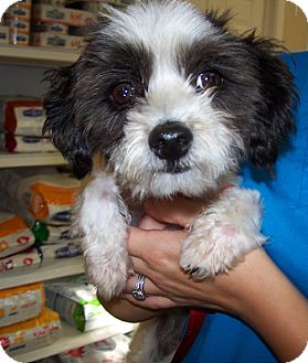 Poodle (Miniature)/Shih Tzu Mix Dog for adoption in Libertyville, Illinois - Cecilia