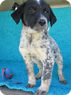 Australian Cattle Dog/Labrador Retriever Mix Puppy for adoption in Waldron, Arkansas - ALISTAIR