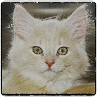 Domestic Longhair Kitten for adoption in Salem, Massachusetts - Jaunty