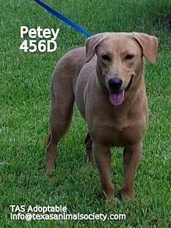Labrador Retriever/Terrier (Unknown Type, Small) Mix Dog for adoption in Spring, Texas - Petey
