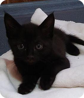 Domestic Shorthair Kitten for adoption in Witter, Arkansas - Brandon (brother of Bradley)